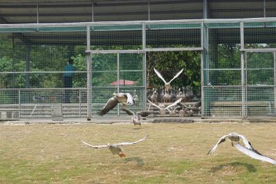 國慶節來香市動物園看鴻雁放飛吧