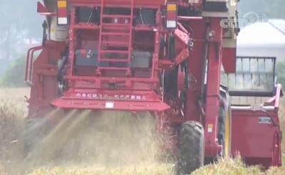 開鐮收割!中國湖北迎來小麥收穫高峰期