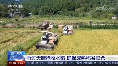 機收+人力收割 確保成熟稻穀歸倉
