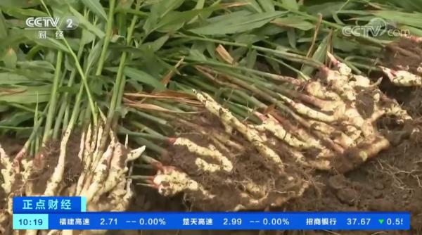 中國全州:生薑飄香 線下線上銷售忙