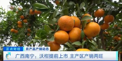 廣西南寧:沃柑提前上市 主產區產銷兩旺
